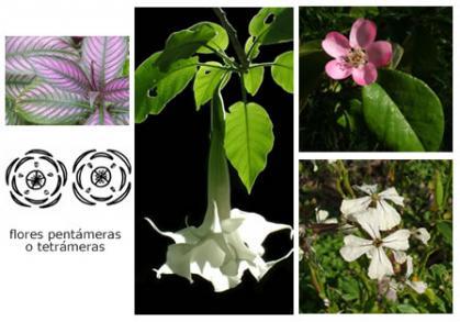 Clase: Dicotiledóneas>Flores pentámeras o tetrámeras