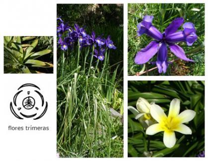 Clase: Monocotiledóneas>Flores trímeras