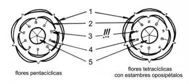 PENTACÍCLICOS (GRUPO DE ÓRDENES)