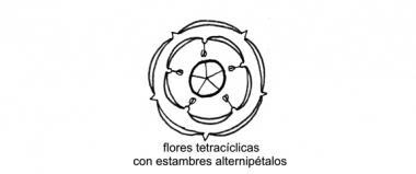 TETRACÍCLICOS (GRUPO DE ÓRDENES)